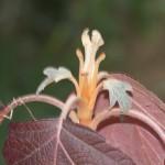 New buds on a Oakleaf Hydrangea (Hydrangea quercifolia).