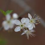 Flatwoods Plum (Prunus umbellata)