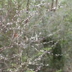 Chicasaw plum (Prunus angustifolia)
