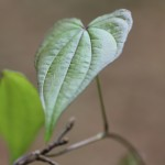 Florida Yam (Dioscorea floridana)