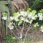 White Fringetree (Chionanthus virginicus L.) opposite driveway from meetingroom
