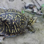 One of two Florida box turtles (Terrapene carolina bauri) I found in the creek near where the ditch enters.