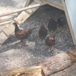 Chickens in Mary's community garden.