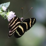 Zebra Longwing (Heliconius charithonia) butterfly