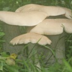 Macrocybe titans, found on the trail along the west side of the front retention pond.