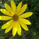(non-native) muck sunflowers (Helianthus simulans)
