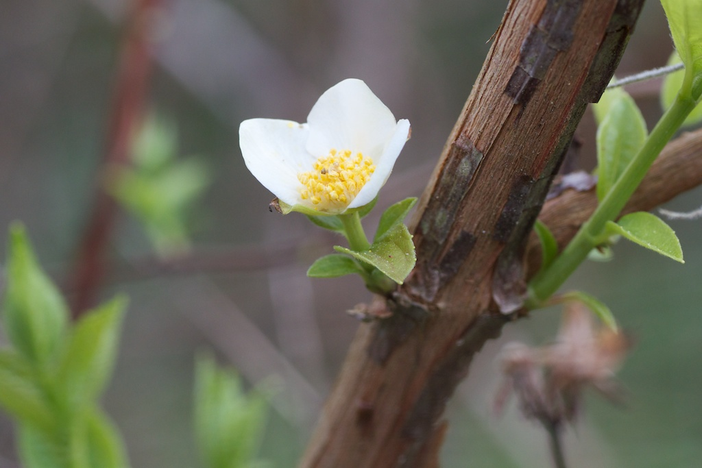 First Mock Orange (Philadelphus inodorus L.) blossom of the spring, on the slope next to the front retention pond.