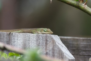 Anole on fence behind rose plant.