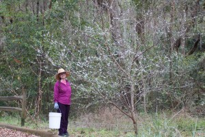 "Jean admiring blooms on Chicasaw plum (Prunus angustifolia) named ""Spring""."