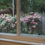 Rose bush donated by Bart Hulett, blooming profusely.