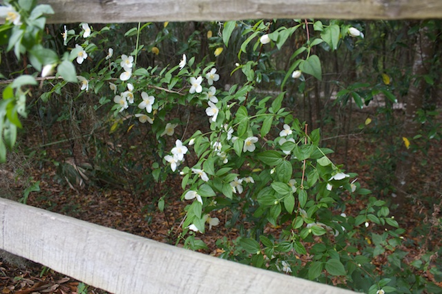 Mock Orange (Philadelphus inodorus L.) blooming by the split rail fence.