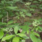 Swamp Dogwood (Cornus foemina) starting to flower.